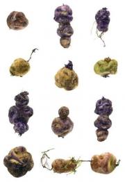 Solanum andigena © Dina Belga